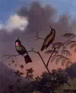 Brazilian Ruby Hummingbirds 1864 1865jpeg