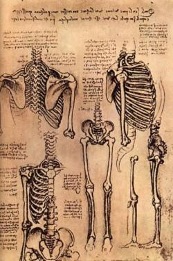 Leonardo da Vinci Drawing of the Torso and the Arms