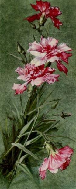 Otto Chrysanthemus